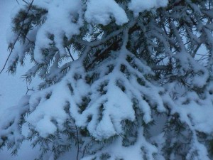 Snow on fir, winter NY 2013