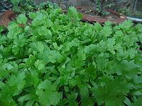 Cilantro_plants